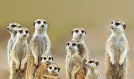 사막의 파수꾼, 미어캣