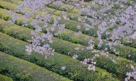 아름다움 가득한 꽃길, 화개 십리벚꽃길